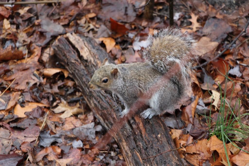 Ecureuil gris à Central Park